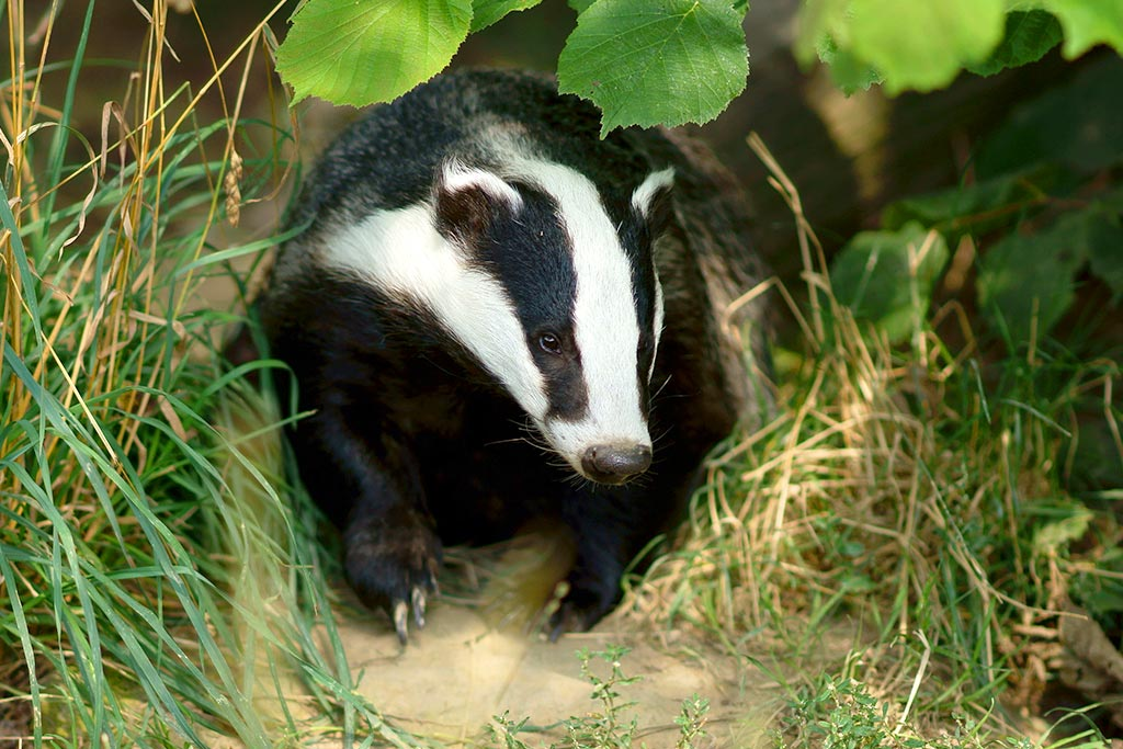 farm-images-badger