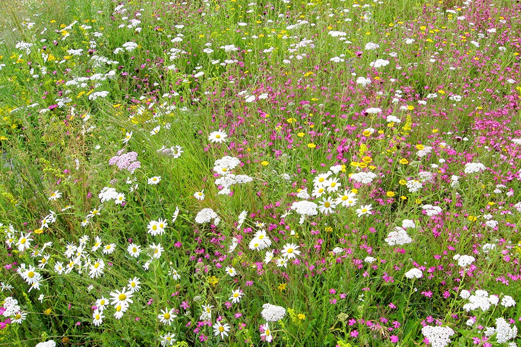 farm-images-wild-flower-meadow