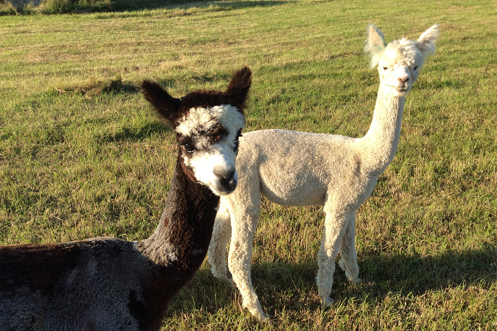 Alpacas at Village Farm Getaway, holidays glamping and luxury camping in East Midlands and Liecestershire